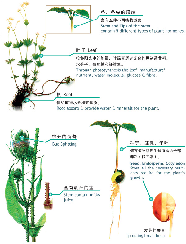 Officinal Plants